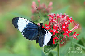 blue and white tropical winged butterfly on flower photograph