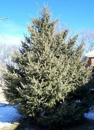 thecountrysfavoritetrees mine is the blue spruce christmass