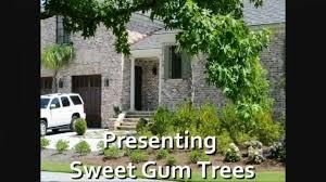sweet gum trees fast growing shade tree liquidambar styra youtube