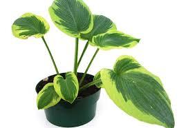 ten common poisonous plants for cats petmd