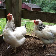 the brahma chicken raising a large breed countryside network