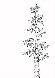 gallery birch tree sketches drawing art gallery