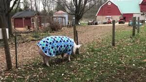heading out for sunday brunch esther the wonder pig