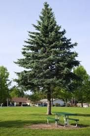 is pine a choice for a front ornamental tree