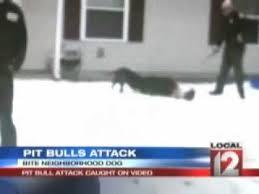 boxer dog kills man cctv pit bull attacks boxer caught on tape the pit bulls were