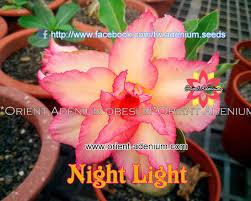adenium obesum night light grafted plant orient adenium online store