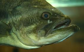 largemouth bass wikipedia