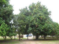 Mango Boom new supply of senegalese organic mangos at otc otc otc