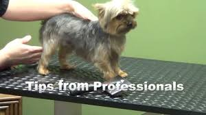 chorkie haircut styles how to groom a yorkshire terrier yorkie puppy cut youtube