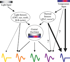 Light Independent Reactions Definition Integration Of Light And Temperature In The Regulation Of