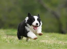 incrocio border collie x australian shepherd il vero standard del border collie ti presento il cane