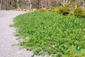 australian native plant nursery carpet plants native plant and revegetation specialists