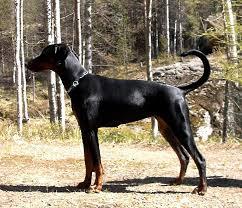 affenpinscher jakt vakt og vokterhunder wikiwand