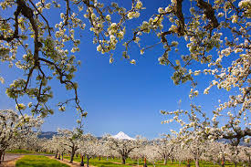 apple blossom trees in river photograph by craig tuttle