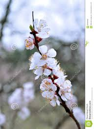 Tree With Little White Flowers - branch with small white flowers closeup stock photo image 69786395