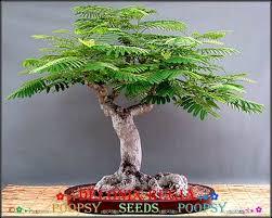 4m delonix regia flamboyant indoor house plant bonsai tree