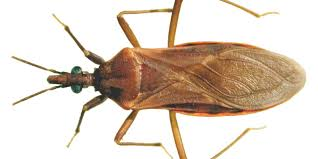 Bed Bugs Smell What You Should Know About Arizona U0027s U0027kissing Bug U0027