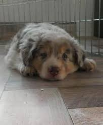 rockin b miniature australian shepherd baby australian shepherd need favorite pups pinterest