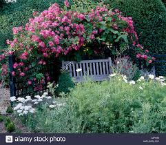 wooden bench with pillar rose trained over trellis white cosmos