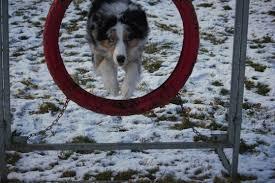 gewicht australian shepherd 7 monate ivy garden aussies special dogs for special people joline