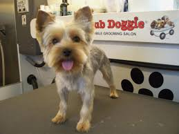 male yorkie haircuts bob hairstyles amazing boy yorkie hairstyles pictures with