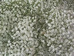 baby s breath flower babys breath flower seeds 100 fresh seeds