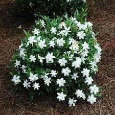 Fragrant Container Plants - 8 best plants for garden images on pinterest plants for garden