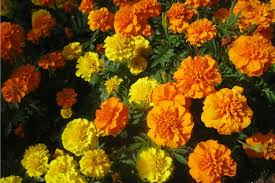 Flowers Information - marigold farming information detailed guide agrifarming in
