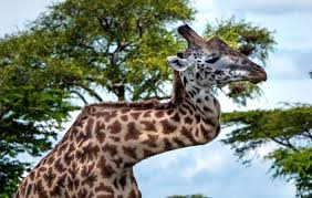 giraffe with broken zigzag neck survives for fives years