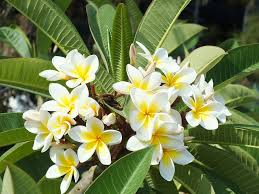 plumeria flower free photo plumeria flower tropical plant free image on