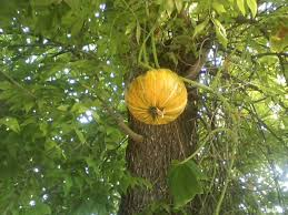 pumpkin noob has questions about trellises small farm forum at