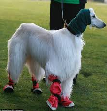 afghan hound attack how crufts turned into a cat walk for dogs as canine u0027s don onesies