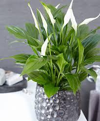 buy house plants now spathiphyllum u0027pearl u0027 cupido bakker com