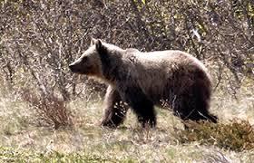Are Bears Color Blind Bears Glacier National Park U S National Park Service