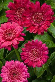 gerbera daisies hello magentamen gerbera gerbera hybrid proven winners
