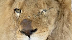 33 rescued circus lions getting a home in africa cnn