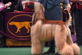 afghan hound therapy dog westminster dog show photots