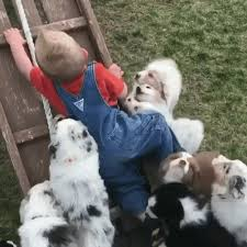 australian shepherd gif puppy attack create discover and share awesome gifs on gfycat