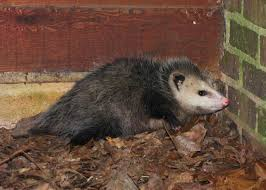 awesome possum the nature of delaware