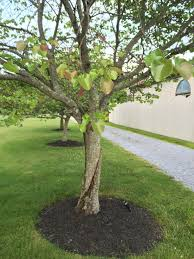 problems with oklahoma redbud trees ask an expert