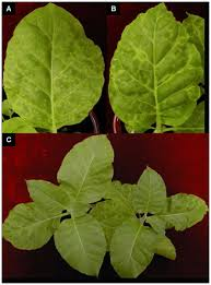 Symptoms Of Viral Diseases In Plants - infection cycle of artichoke italian latent virus in tobacco