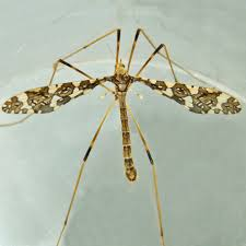 limoniid crane flies family limoniidae inaturalist org