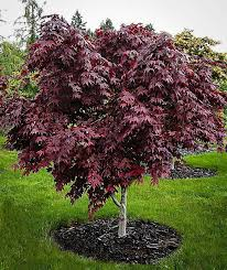 123 best japanese maple trees images on japanese maple