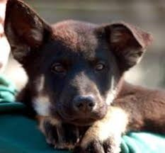 belgian sheepdog on petfinder fremont ca belgian tervuren keeshond mix meet titan d2027 a