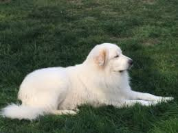 great pyrenees rescue provides wonderful dogs to good homes pyrs won t come when called think again carolina great pyrenees