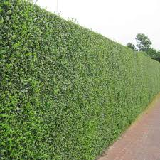 hedging plants budget wholesale nursery privet hedge plants landscaping ideas pinterest privet hedge