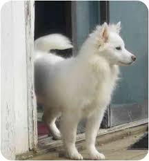 american eskimo dog for sale ontario toronto etobicoke gta on american eskimo dog meet eskie a dog