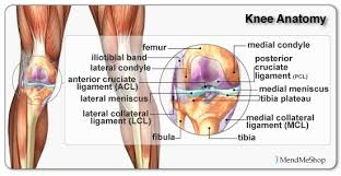 Interactive Knee Anatomy Muscle Archives Page 13 Of 36 Human Anatomy Chart