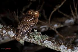 bare shanked screech owl wikipedia