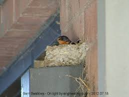 Barn Swallow Nest Pictures Ernest Harlow Barn Swallow Nest